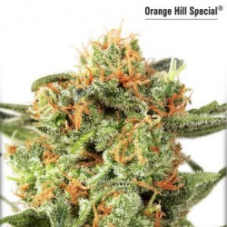Orange Hill Special - Feminized