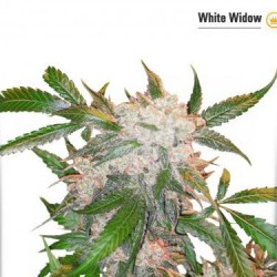 White Widow - Feminized