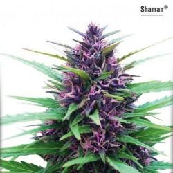 Shaman - Regular