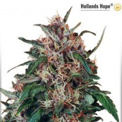 Hollands Hope - Regular