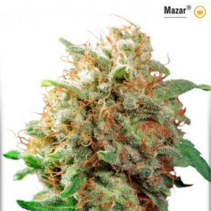 Mazar - Regular