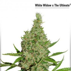 White Widow x The Ultimate - Regular