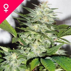 K-Train Feminized Seeds