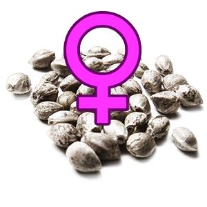 Feminisierte Samen