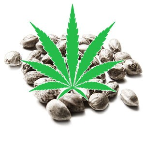Graines de Cannabis Sativa