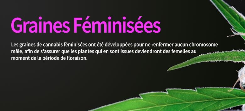 Graines Feminisees
