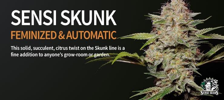 Sensi Skunk FEM & AUTO